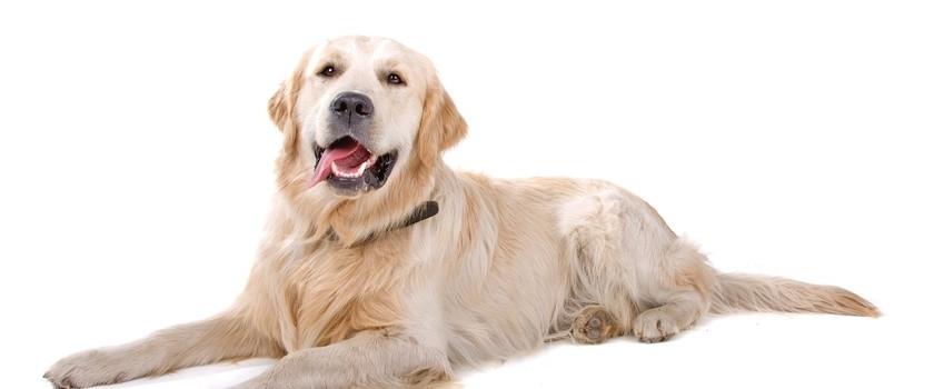 PFRON dofinansuje utrzymanie i szkolenie psów przewodników