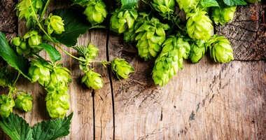 Związki zawarte w chmielu mogą pomóc leczyć niealkoholową stłuszczeniową chorobę wątroby