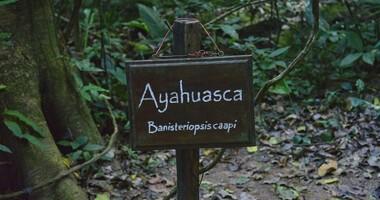 Ayahuasca (ajałaska) – czym jest ceremonia? Właściwości i skutki uboczne rytuału
