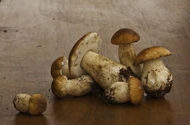 Borowiki (prawdziwki) – rodzaje: jadalne i niejadalne. Właściwości zdrowotne borowików