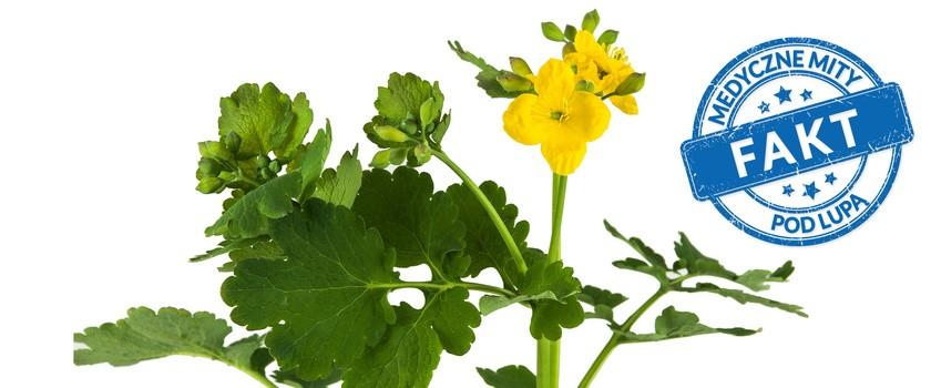 Jaskółcze ziele jest naturalnym lekarstwem na kurzajki