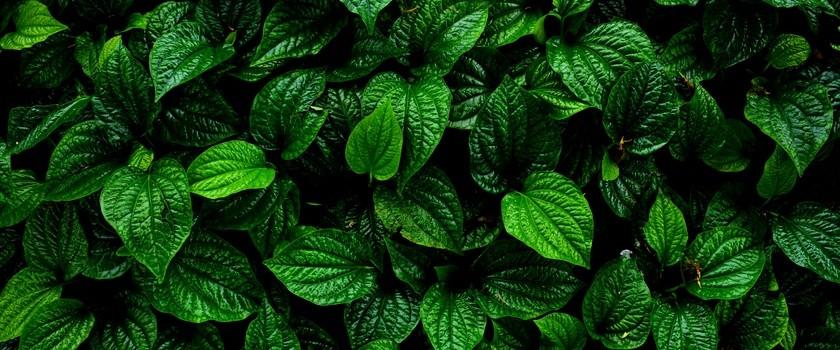 Liście betelu wspomagają gojenie ran cukrzyków