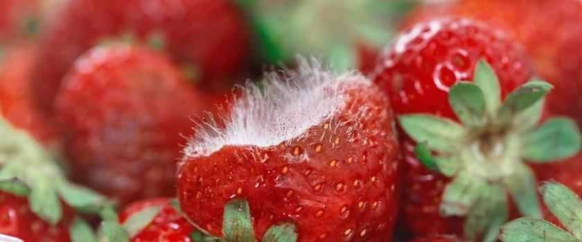 Pleśń na żywności – odkroić czy wyrzucić? Dlaczego żywność pleśnieje i jak temu zapobiegać?