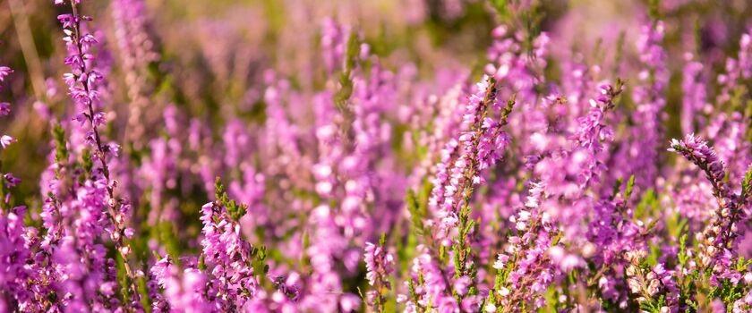 Kwiaty jesieni – wrzos