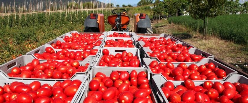 Pomidory, które leczą