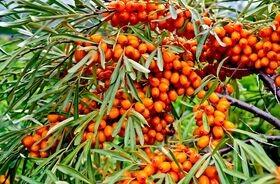 Rokitnik zwyczajny - olej z rokitnika, właściwości i zastosowanie