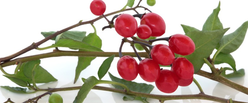 Rośliny o trujących owocach – część 2