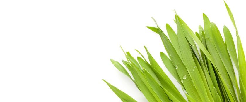 Poznaj zielony jęczmień. Fakty i mity
