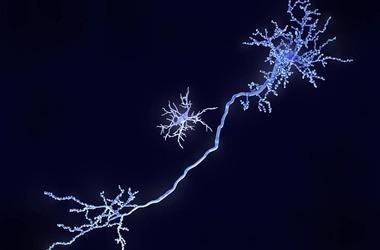 Odkryto kolejną funkcję mikrogleju – nowe możliwości leczenia zaburzeń ze spektrum autyzmu i schizofrenii