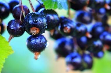Czarna porzeczka – charakterystyka, właściwości, zastosowanie, przepisy