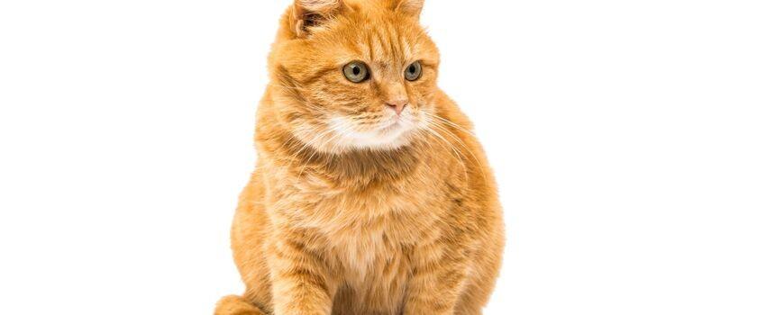 Toksoplazmozą możemy zarazić się nie tylko od kota