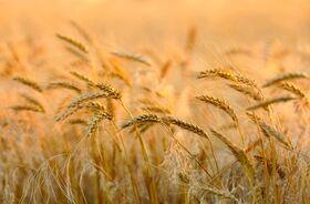 Pszenica – piękno z ziaren