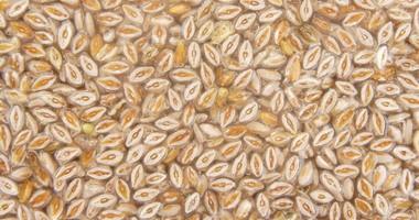 Babka jajowata – właściwości i zastosowanie nasion i łuski babki jajowatej