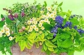 Roślinne środki przeciwzapalne stosowane zewnętrznie