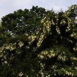 Encyklopedia ziół - Robinia akacjowa /  Robinia pseudoacacia , Robinia akacjowa