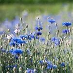 Encyklopedia ziół - Chaber bławatek /  Centaurea cyanus , chaber bławatek