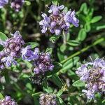 Encyklopedia ziół - Macierzanka piaskowa /  Thymus serpyllum , Macierzanka piaskowa