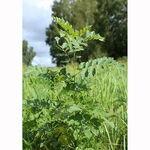 Encyklopedia ziół - Lukrecja gładka /  Glycyrrhiza glabra , Lukrecja gładka