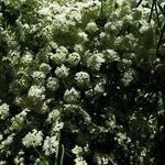 Encyklopedia ziół - Biedrzeniec anyż (Anyż, Anyżek) /  Pimpinella anisum , Biedrzeniec anyż zioło