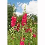 Encyklopedia ziół - Prawoślaz różowy (Malwa czarna) /  Althaea rosea , Prawoślaz różowy