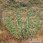 Encyklopedia ziół - Szanta zwyczajna /  Marrubium vulgare , szanta zwyczajna
