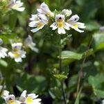 Encyklopedia ziół - Świetlik łąkowy /  Euphrasia rostkoviana Hayne , Świetlik łąkowy