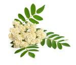 Encyklopedia ziół - Jarząb pospolity (jarzębina) /  Sorbus aucuparia  , Jarząb pospolity zioło