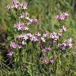 Encyklopedia ziół - Centuria pospolita (Tysiącznik) /  Centaurium erythraea , centuria pospolita