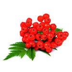 Encyklopedia ziół - Jarząb pospolity (jarzębina) /  Sorbus aucuparia  , Jarząb pospolity owoc