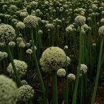 Encyklopedia ziół - Czosnek pospolity /  Allium sativum , czosnek pospolity