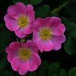 Encyklopedia ziół - Róża dzika (Róża polna) /  Rosa canina , Róża dzika