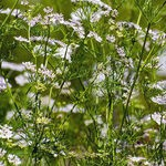 Encyklopedia ziół - Kolendra siewna /  Coriandrum sativum , Kolendra siewna