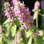 Encyklopedia ziół - Czyściec lekarski (Bukwica zwyczajna) /  Betonica officinalis , czyściec lekarski