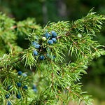 Encyklopedia ziół - Jałowiec pospolity /  Juniperus communis , jałowiec pospolity