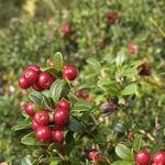Encyklopedia ziół - Borówka brusznica /  Vaccinium vitis idaea