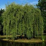 Encyklopedia ziół - Wierzba biała, Wierzba purpurowa /  Salix alba, Salix purpurea , Wierzba biała
