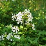 Encyklopedia ziół - Mydlnica lekarska /  Saponaria officinalis , mydlnicy lekarskiej