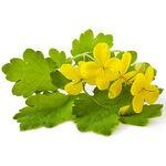 Encyklopedia ziół - Glistnik jaskółcze ziele /  Chelidoniu majus , Glistnik jaskółcze ziele