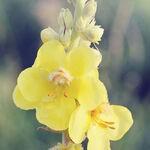 Encyklopedia ziół - Dziewanna wielkokwiatowa (Dziewanna lekarska) /  Verbascum thapsiforme , dziewanna wielkokwiatowa