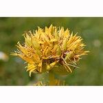 Encyklopedia ziół - Goryczka żółta /  Gentiana lutea , goryczka żółta