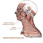 Mięśnie powierzchowne szyi