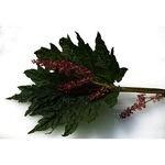 Encyklopedia ziół - Rzewień dłoniasty, Rzewień lekarski /  Rheum palmatum, Rheum officinale , Rzewień dłoniasty