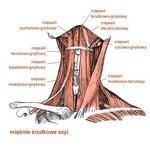 Mięśnie środkowe szyi